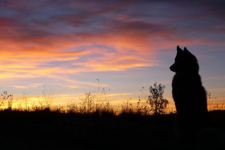 A wolf sitting in grass silhouetted against a sunset sky