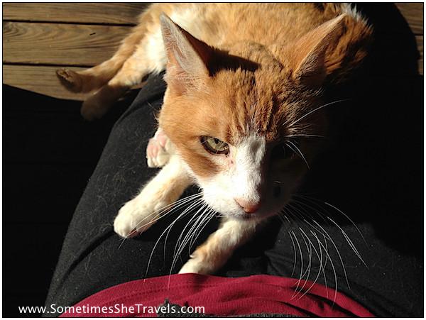 orange and white cat on lap