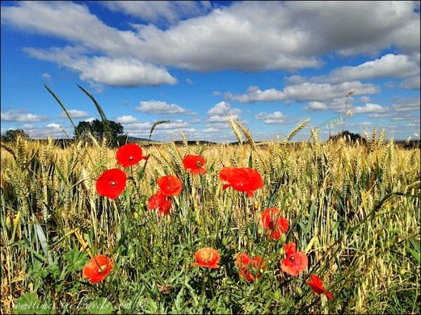 camino de santiago poppies field sky clouds