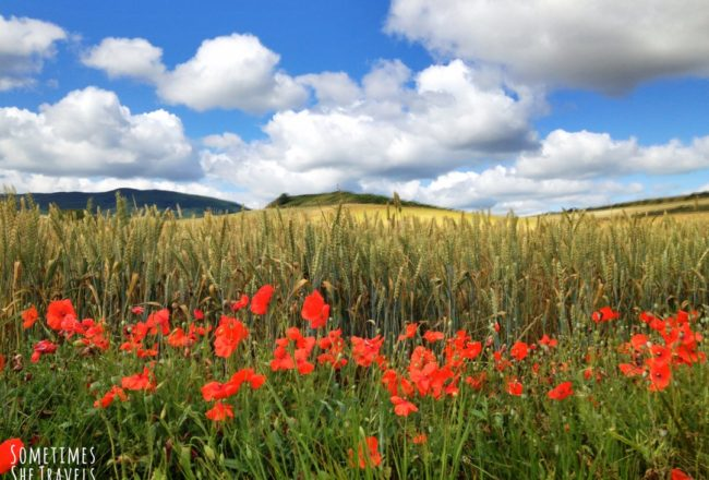 red poppies, green grass, golden field of grain with hills, blue sky and clouds