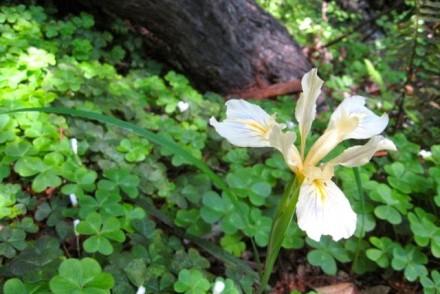 Iris on Mt. Tam Hike