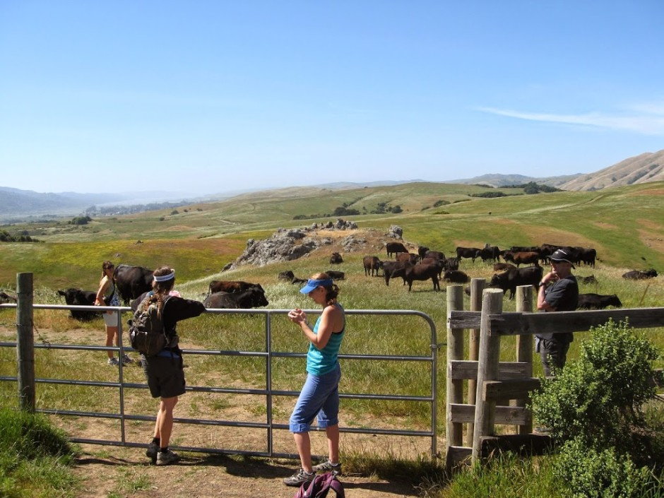 bolinas ridge cow pasture