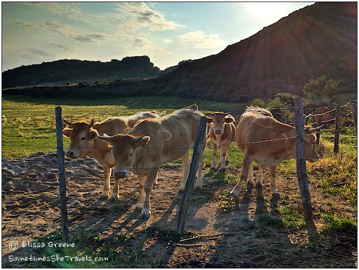 Cows in Salinas