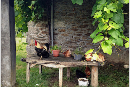 a rooster and chickens on a wooden table in front of a stone house